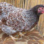 Карликовые курицы Виандот, описание породы