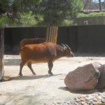 Карликовый буйвол: образ жизни самого маленького быка