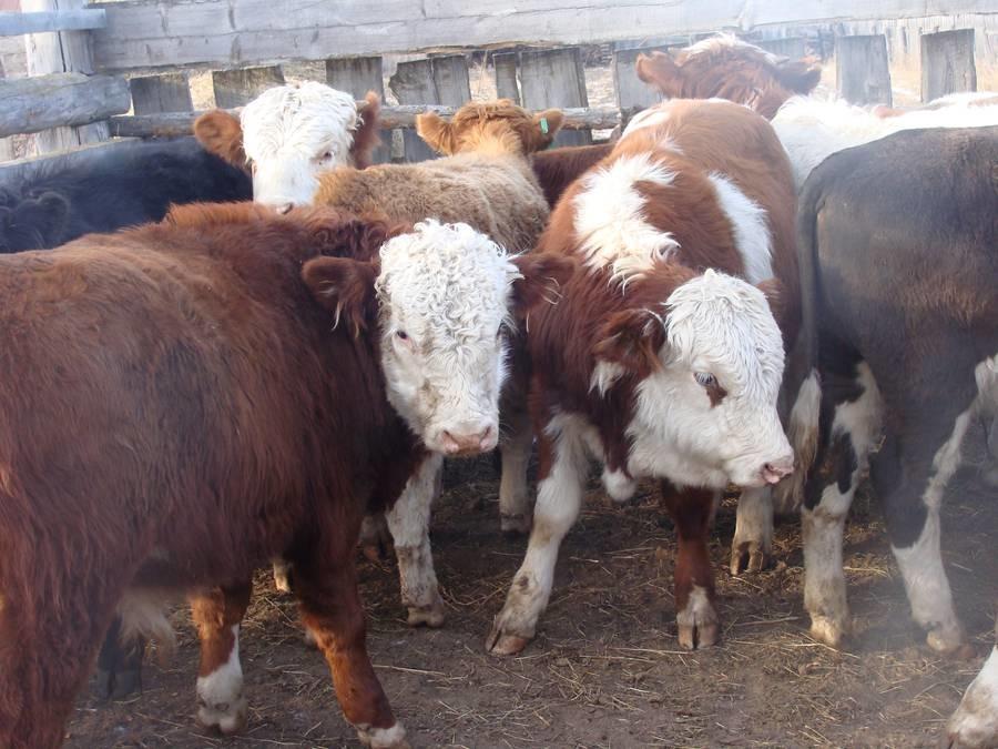 белоголовые коровы в казахстане цена (сбытовая деятельность)