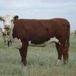 Казахская белоголовая порода коров