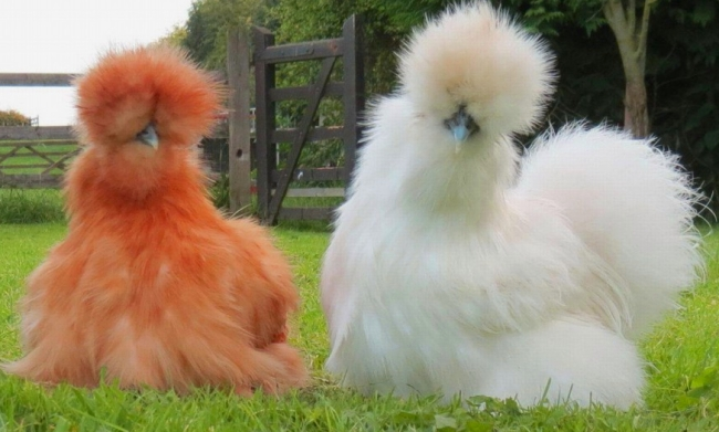 шёлковая китайская курица фото