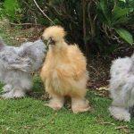 Китайская шёлковая курица — чёрное сокровище из Поднебесной