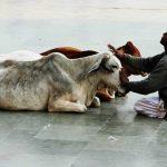 Корова - священное животное в Индии, традиции индусов