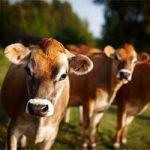 Плюсы и минусы коровы джерсейской породы в животноводстве