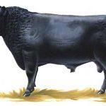 Коровы породы абердин-ангус. Мраморная говядина