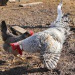 Кремовые хохлатые Легбары: описание породы кур, содержание и уход