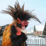 Павловская курица: особенности, история выведения, характеристики