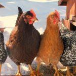 Куры и петухи породы Ломан Браун