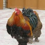 Описание породы кур Орпингтон: виды и характеристика