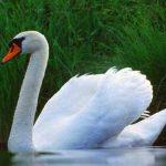 Лебедь шипун: среда обитания и интересные факты