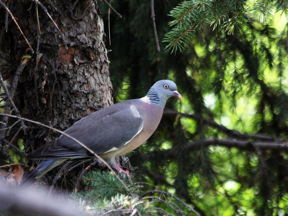 лесные голуби фото