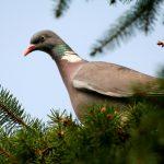 Дикий лесной голубь вяхирь: места обитания и образ жизни