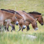 Лошадь Пржевальского — гордое животное, обитающее в Монгольских степях