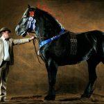 Рыцарский конь в России: что мы знаем о лошадях породы першерон