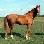 Лошади донской породы: происхождение, характеристика, продажа