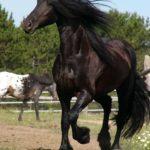 Кони и лошади фризской породы из Голландии