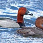 Особенности развития птицы нырок. Мраморный и красноголовый чирок