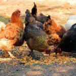 Обзор мясных пород кур и их особенностей