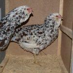 Описание орловских кур: внешний вид, продуктивность