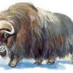 Овцебык (мускусный бык): поведение, питание, зона обитания