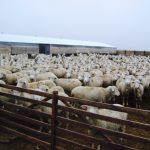 Общая характеристика овец породы меринос