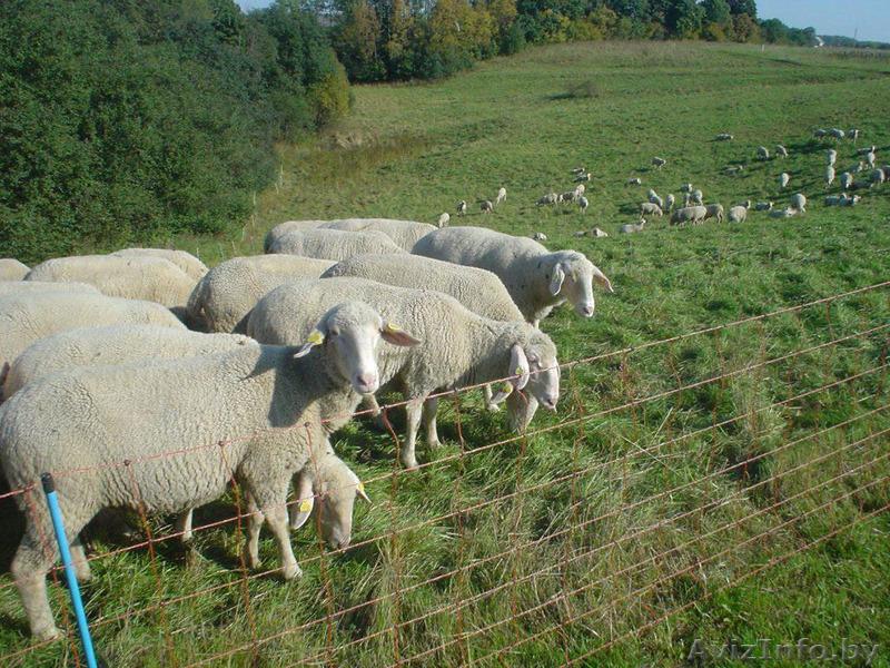 что овцы мясных пород в белоруссии квартиру Залесье
