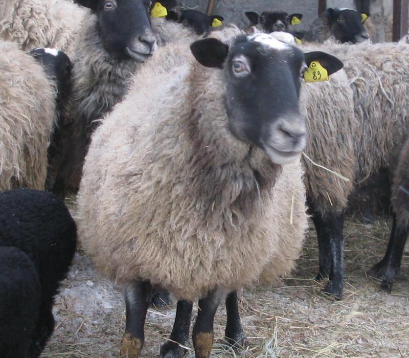 овца рамановские