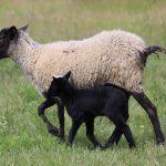 Выращивание и разведение овец романовской породы
