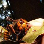 Насекомое убийца, пчела тигр — монстр, который несёт смерть