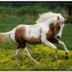 Общая характеристика окраса пегой масти лошадей. Какой это цвет?