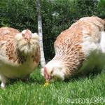 Описание и преимущества французской породы кур Фавероль