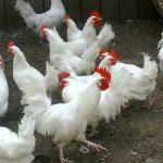 Породы кур для разведения в домашних условиях
