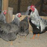 Плимутрок - богатырь куриного мира: универсальная курица