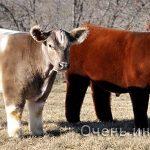 Декоративная порода плюшевой коровы в штате Айова