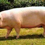 Порода свиней Ландрас: описание, кормление и разведение