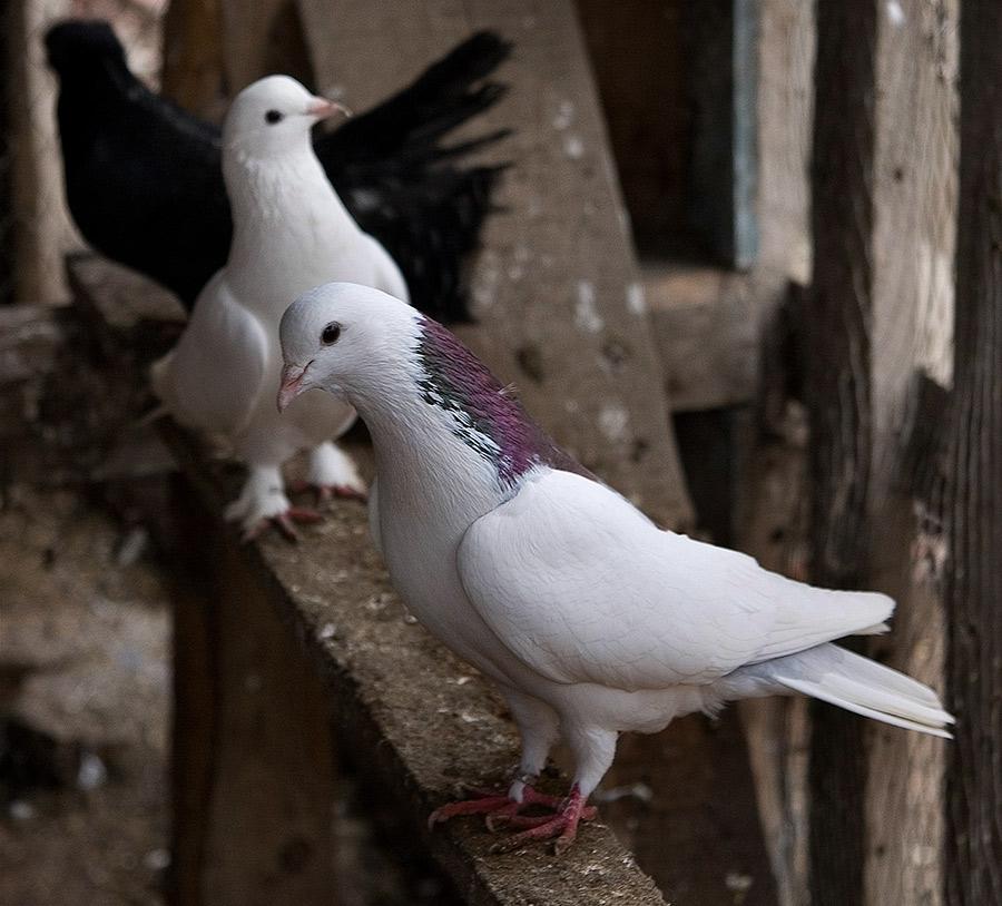 время фото голубей всех пород счастью, меня все