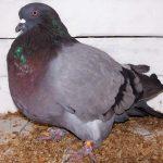 Породы голубей и их разновидности
