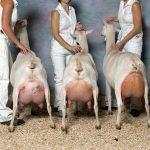 Популярные виды и породы коз: молочные, мясные, шерстно-пуховые