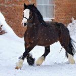 Виды и породы лошадей тяжеловозов — описание и характеристики