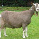 Обзор пород молочных коз без запаха