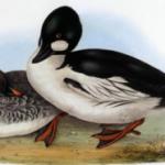 Птица - гоголь обыкновенный. Особенности гнездования утки