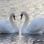 Птица лебедь — описание и интересные факты