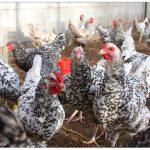 Описание пушкинской породы кур