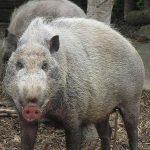Какой должна быть самая большая свинья в мире?