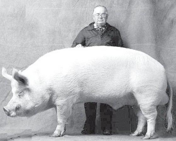 современное самая большая свинья в мире фото старшей группе гражданин