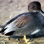 Серая утка: описание птицы, размножение, питание