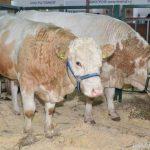 Симментальская порода коров: особенности и характеристика