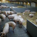 Современная свиноферма: проектировка и строительство своими руками