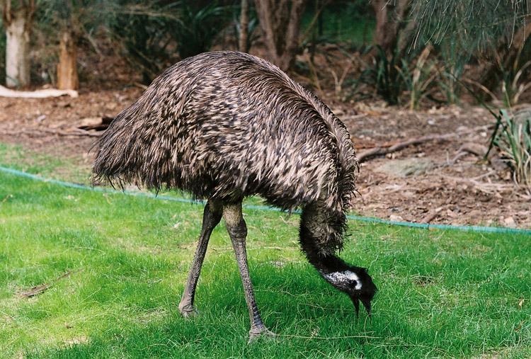 картинки страуса эмо этом музее есть
