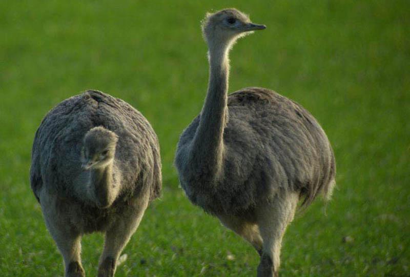 несъемный страус нанду фото фотосессии